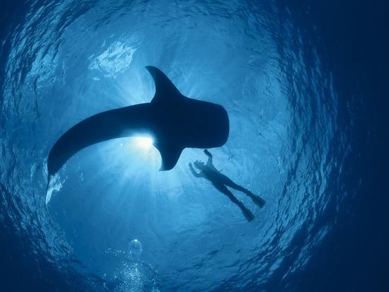 Whale Shark and Person Swimming in Silhouette, Indo Pacific-Jurgen Freund-Photographic Print