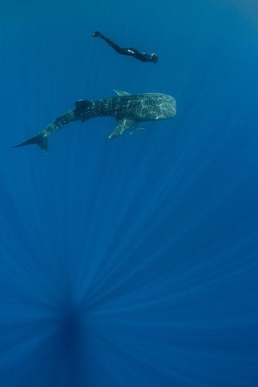 Whale Shark and Tourist. Cenderawasih Bay, West Papua, Indonesia-Pete Oxford-Photographic Print