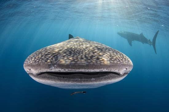 Whale Shark, Cenderawasih Bay, West Papua, Indonesia-Pete Oxford-Photographic Print