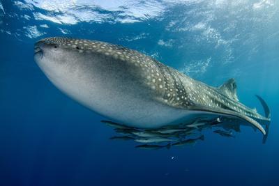 https://imgc.artprintimages.com/img/print/whale-shark-cenderawasih-bay-west-papua-indonesia_u-l-q12t0a30.jpg?p=0