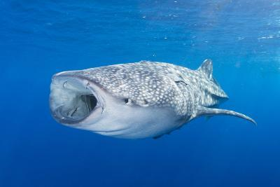 Whale Shark Descending to the Depths with Mouth Wide Open-Stocktrek Images-Photographic Print