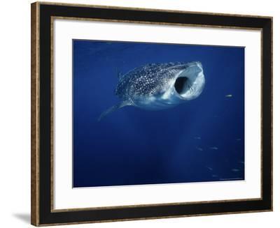 Whale Shark, Feeding, Australia-Gerard Soury-Framed Photographic Print