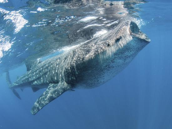 Whale Shark Feeding Off Coast of Isla Mujeres, Mexico--Photographic Print