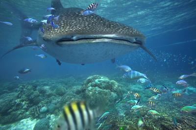 Whale Shark over Coral Reef, Cebu, Philippines-Tim Fitzharris-Photographic Print