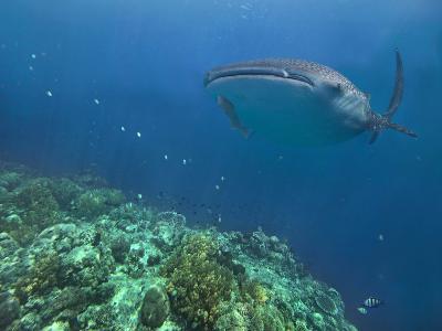 Whale Shark over Reef, Cebu, Philippines-Tim Fitzharris-Photographic Print