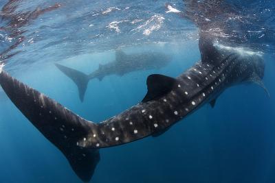 Whale Shark (Rhincodon Typus) Feeding View of Tail, Isla Mujeres, Caribbean Sea, Mexico, August-Claudio Contreras-Photographic Print