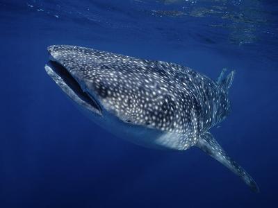 Whale Shark, Swimming, Australia-Gerard Soury-Photographic Print