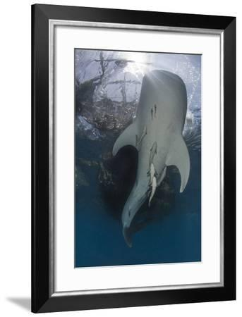 Whale Shark Swimming Up to the Surface with Remora Clinging to its Belly-Stocktrek Images-Framed Photographic Print