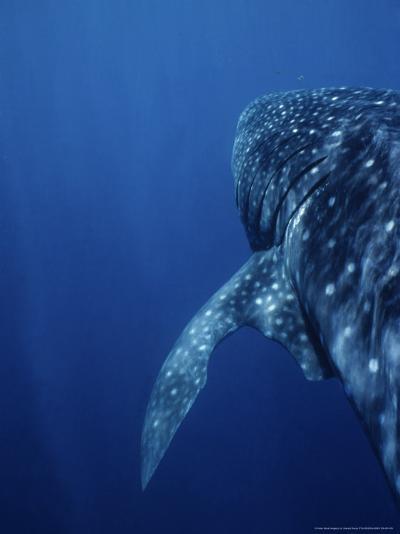 Whale Shark, Swimming, W. Australia-Gerard Soury-Photographic Print