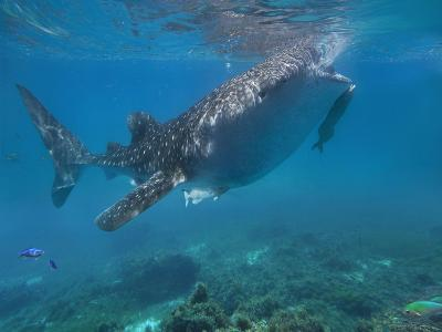 Whale Shark with a Remora Feeding at Surface, Oslob, Cebu, Philippines-Tim Fitzharris-Photographic Print