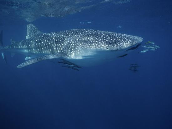 Whale Shark, with Pilot Fish, Australia-Gerard Soury-Photographic Print