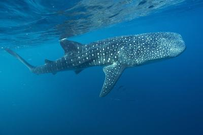 Whale Shark-Alexis Rosenfeld-Photographic Print