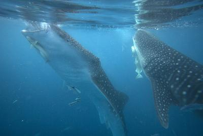 Whale Sharks Feeding at the Surface, Cebu, Philippines-Tim Fitzharris-Photographic Print
