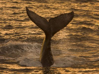 Whale Tail Splashes in the Sunset Light-Ralph Lee Hopkins-Photographic Print