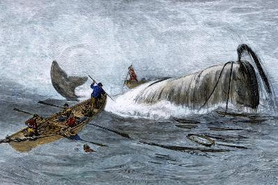 Whalers in Longboats Lancing a Whale with Harpoons, 1800s--Giclee Print