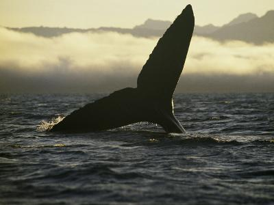Whales Tale-Art Wolfe-Photographic Print