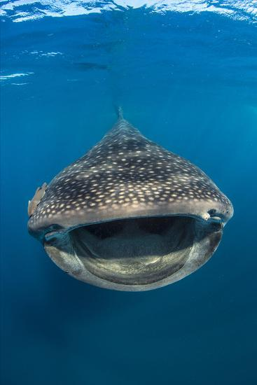 Whaleshark (Rhincodon Typus) Swimming And Filtering Fish Eggs From The Water-Alex Mustard-Photographic Print