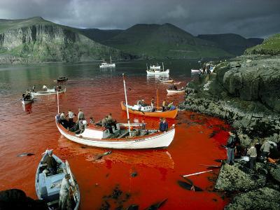 Whaling, Faroe Islands (Faeroes), North Atlantic-Adam Woolfitt-Photographic Print