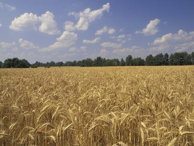 Wheat Crop, Tennessee, USA-Adam Jones-Photographic Print