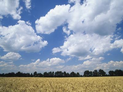 Wheat Field and Fair Weather Cumulus Clouds, Louisville, Kentucky-Adam Jones-Photographic Print