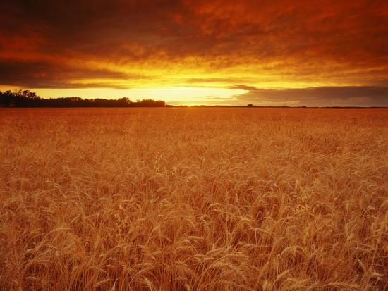 Wheat Field at Sunset--Photographic Print