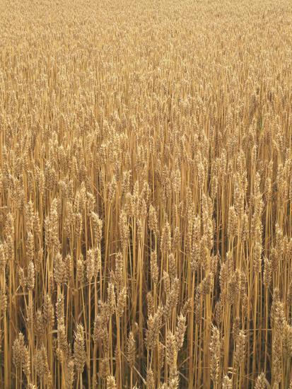 Wheat Field, Grain, Ears of Wheat-Thonig-Photographic Print
