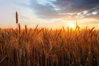 Wheat Field over Sunset-TTstudio-Photographic Print