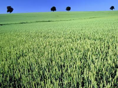 Wheat field-Frank Krahmer-Photographic Print
