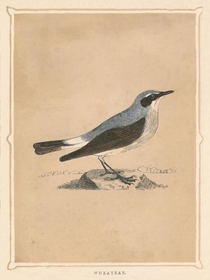 'Wheatear', (Oenanthe), c1850, (1856)-Unknown-Giclee Print