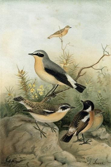 Wheatear Stonechat and Whinchat--Giclee Print