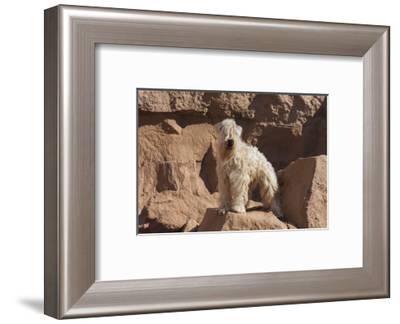 Wheaten Terrier standing in dry river-Zandria Muench Beraldo-Framed Photographic Print
