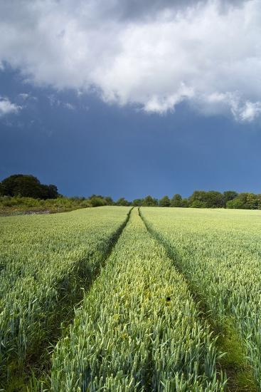 Wheatfield with Tractor Track, Near Belsay, Northumberland, UK--Photographic Print