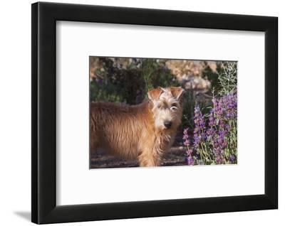 Wheaton terrier puppy standing by flowers-Zandria Muench Beraldo-Framed Photographic Print