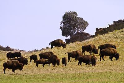 Where the Buffalo Roam in Colorado-Striking-Photography-Photographic Print
