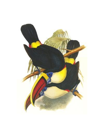 Whie-Throated or Red-Bulled Toucan-John Gould-Art Print