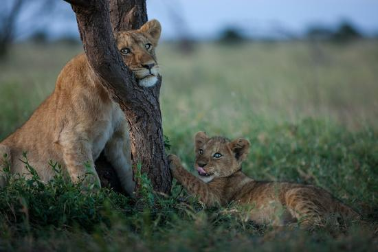 While the Pride Hunts, an Older and Younger Lion Cub Rest at an Acacia Tree-Michael Nichols-Photographic Print