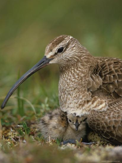 Whimbrel on Nest with Chick and Egg, Alaska-Michael S^ Quinton-Photographic Print