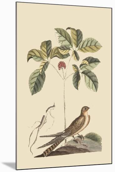 Whipoorwill-Mark Catesby-Mounted Art Print