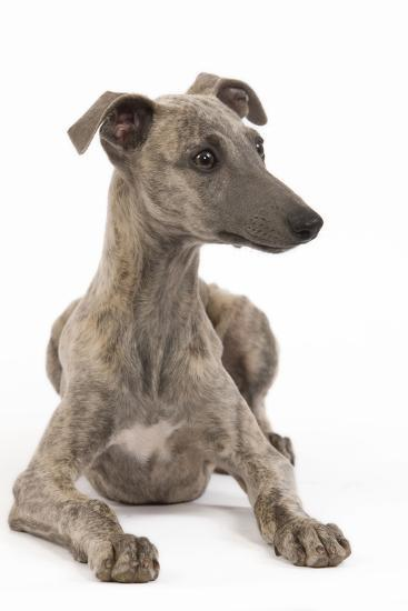 Whippet in Studio--Photographic Print