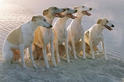 Whippets Group of Sandy Beach--Photographic Print