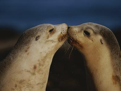 Whisker Touch Display Between Two Juvenile Australian Sea Lions-Jason Edwards-Photographic Print