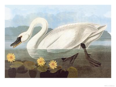 Whistling Swan-John James Audubon-Art Print
