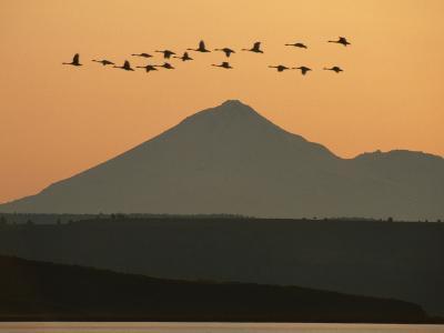 Whistling Swans Flying Near Mt Shasta, Cygnus Columbianus, Klamath Basin Nat'l Wildlife Refuge, CA-Frans Lanting-Photographic Print