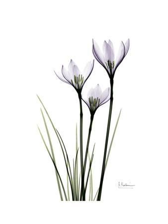 Whit Rain Lily Portrait-Albert Koetsier-Premium Giclee Print