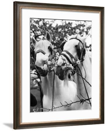 Whitbread Shires Pride and Prejudice on Their Summer Break at Paddock Wood, Kent, May 1962--Framed Photographic Print