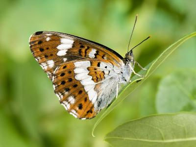 White Admiral Butterfly at Rest on Honeysuckle with Wings Closed, UK-Andy Sands-Photographic Print