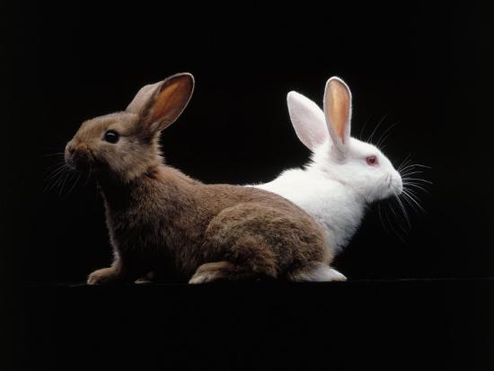 White and Brown Rabbit-Howard Sokol-Photographic Print