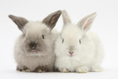 White and Grey Baby Rabbits-Mark Taylor-Photographic Print