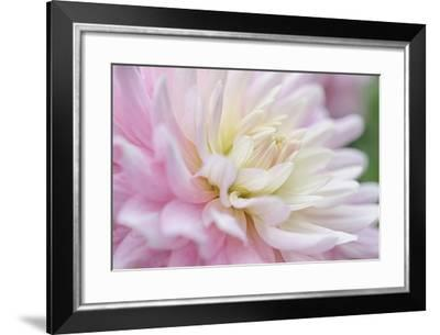 White and Pink Dahlia-Cora Niele-Framed Photographic Print