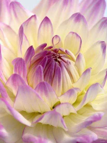 White and Purple Dahlia-Gerhard Bumann-Photographic Print